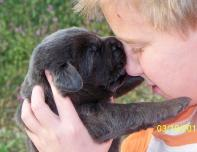 Charcoal labrador puppy giving puppy kisses