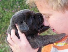 Labrador Puppy Kisses